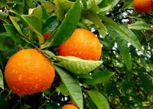 Польза и вред апельсинов для здоровья: мужского и женского