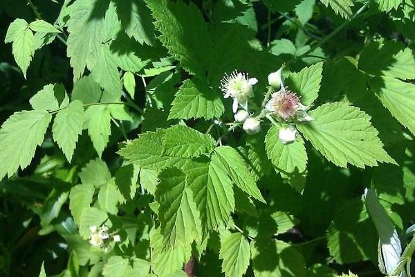 полезные свойства листьев малины и противопоказания к их применению