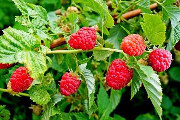 состав ягод и листьев малины