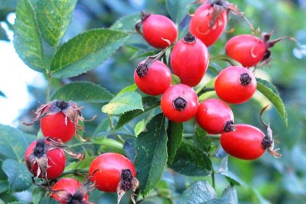 лечебные свойства и противопоказания ягод шиповника