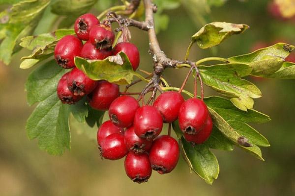 полезные свойства плодов боярышника