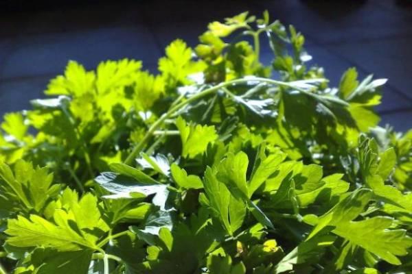 полезные свойства и противопоказания петрушки для организма