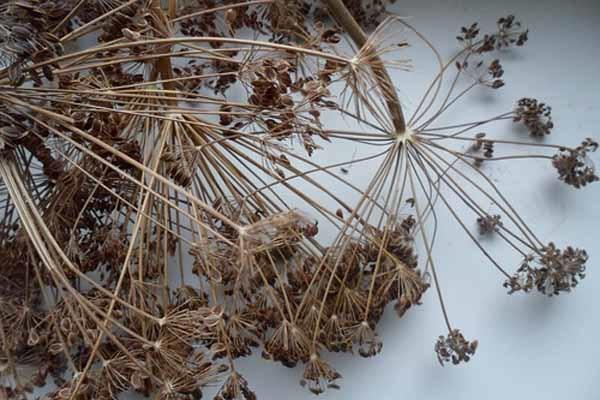как употреблять семена укропа для похудения