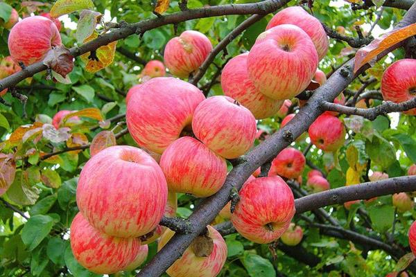 особенности сидения на яблочной диете дял похудения на 10 кг за неделю